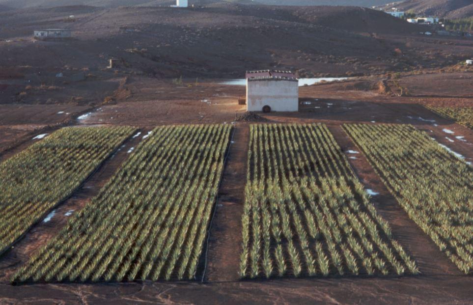 plantaciones aloe vera fuerteventura